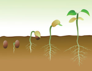 Plant-Germination